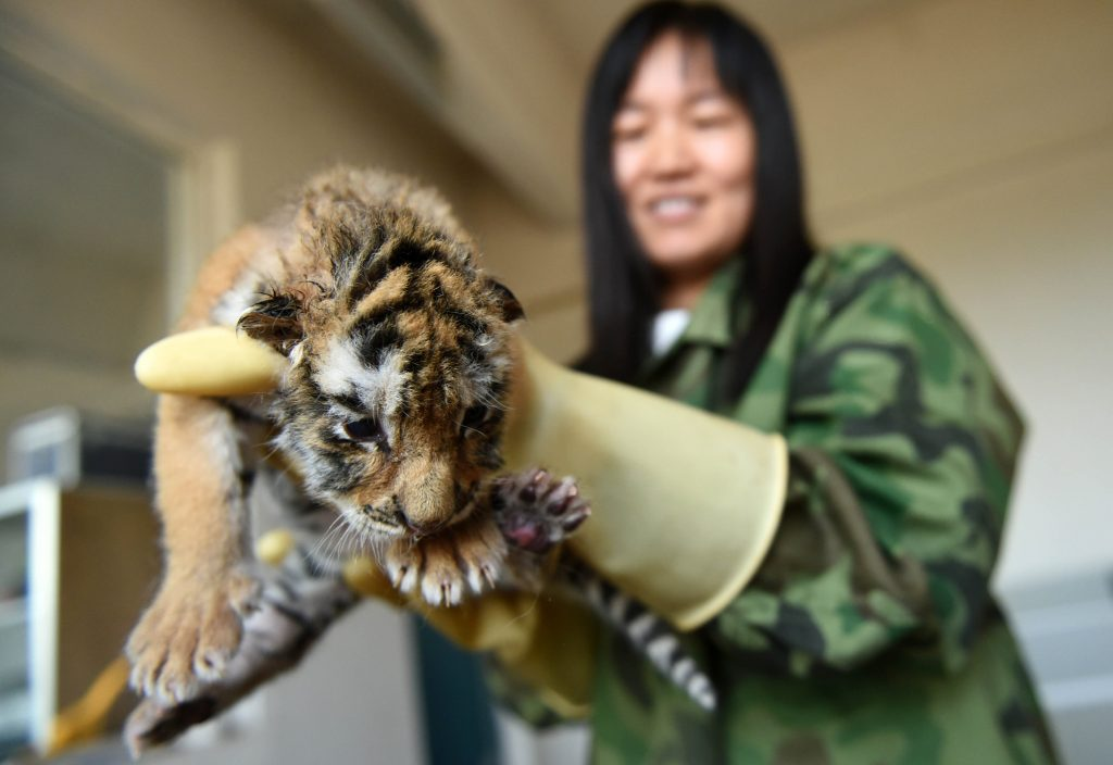 CHINA-HARBIN-SIBERIAN TIGER-BREEDING (CN)