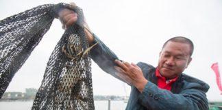 Die Saison der in China stark beliebten Wollhandkrabben hat begonnen